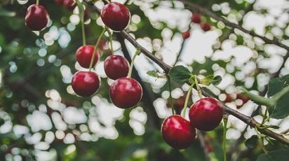 Când se plantează cireșul?