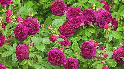 Calendar lunar pentru îngrijirea trandafirilor