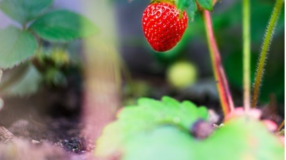 Ce soiuri de căpșuni sunt recomandate pentru înmulțire?