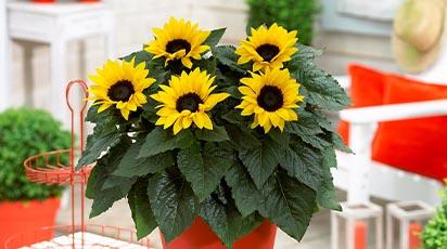 Cum crești floarea-soarelui în ghiveci la interior