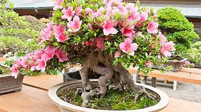 Cum protejezi rhododendronul pe timpul iernii