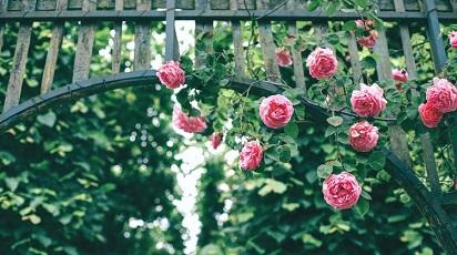 Folosește trandafiri urcători pentru amenajarea spațiilor verzi