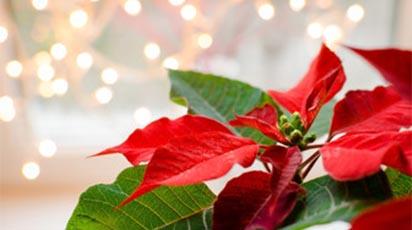 Sfaturi de îngrijire a Crăciuniței pentru a te bucura de frumusețea ei