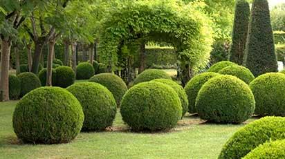 Sfaturi pentru plantarea arbustului de buxus