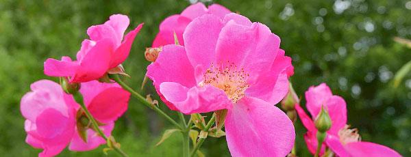 Cum crești trandafiri de dulceață la tine acasă