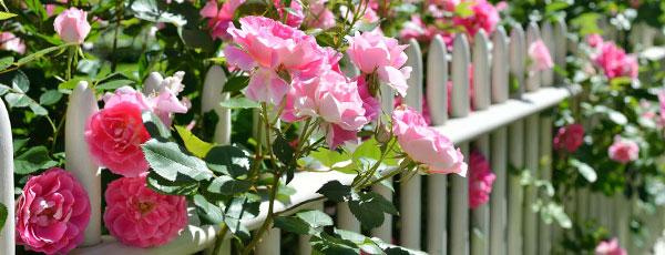 Cum fertilizezi corect trandafirii din grădina ta