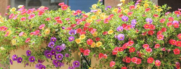 Cum obții o grădină colorată cu flori de piatră