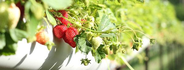Cum pregătești căpșunii pentru iernare: cele mai importante lucrări ale toamnei