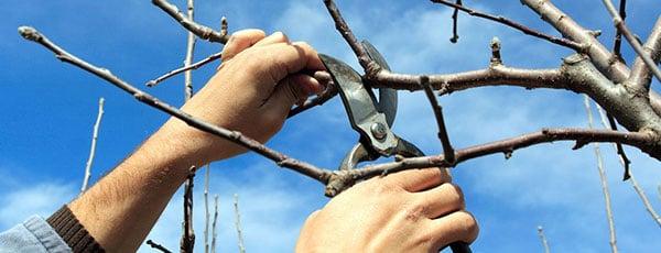 Cum se realizează tăierile de formare și întreținere la cireș