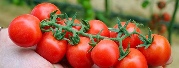 Ghid pentru plantarea roșiilor cherry în grădină
