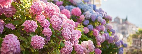 Hortensia paniculată: plantare, tundere, fertilizare, pregătire pentru iernare