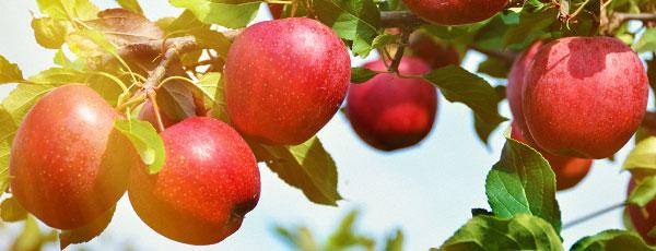 Îngrijirea de toamnă a mărului – sfaturi pentru pregătirea iernării