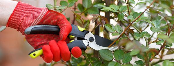 Îngrijirea trandafirilor după înflorire: 5 proceduri obligatorii