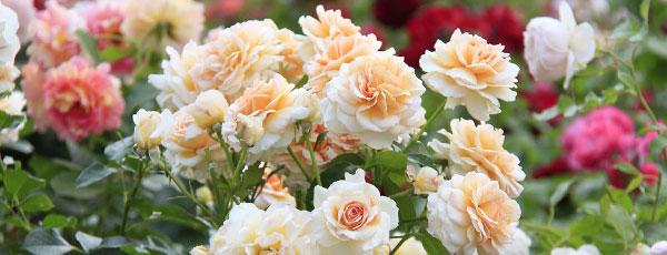 Înmulțirea prin butași a trandafirilor Floribunda