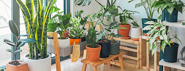 Plante ornamentale de interior pe care le preferă românii