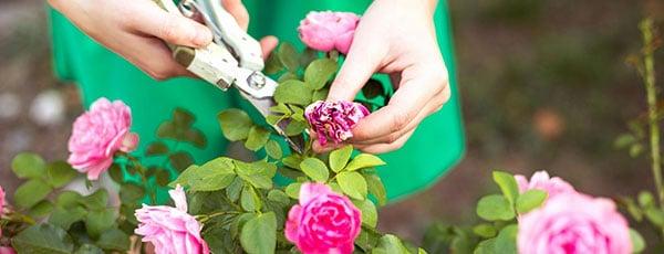 Reguli esențiale pentru tăieri la trandafiri