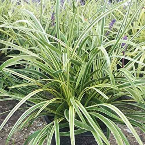 Rogoz (Carex) Evergold imagine 1 articol 4028