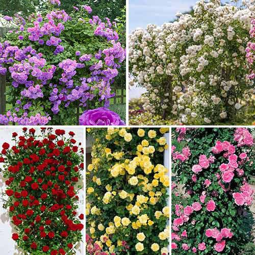 Super ofertă! Trandafiri urcători Top garden, set de 5 soiuri imagine 1 articol 3697