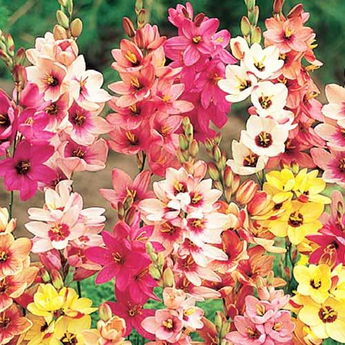 Ixia mix multicolor imagine 1 articol 64016