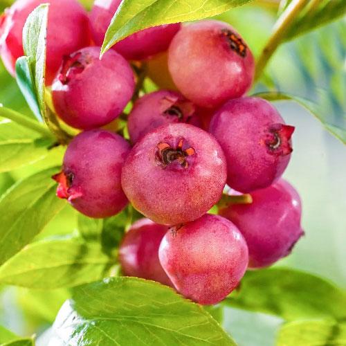 Afin Pink Blueberry imagine 1 articol 9324