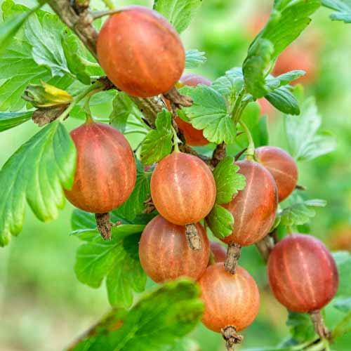 Agriş fără spini Captivator imagine 1 articol 7593