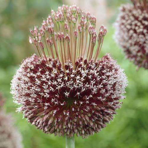 Allium Forelock imagine 1 articol 68055