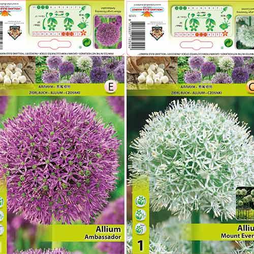 Super ofertă! Allium gigant, set de 2 bulbi imagine 1 articol 70318