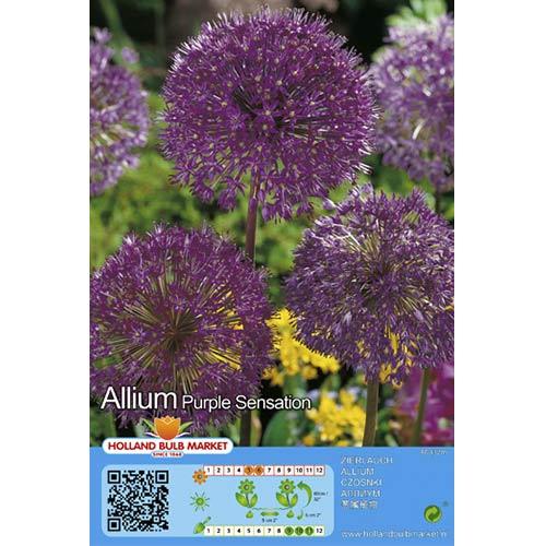 Allium Purple Sensation imagine 1 articol 67301