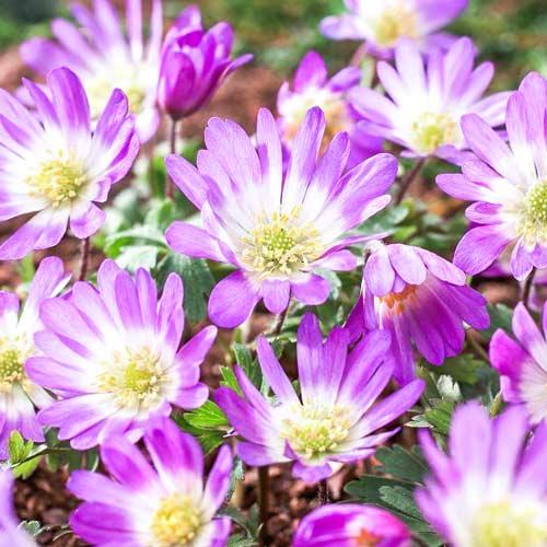 Anemone blanda Pink Star imagine 1 articol 67308