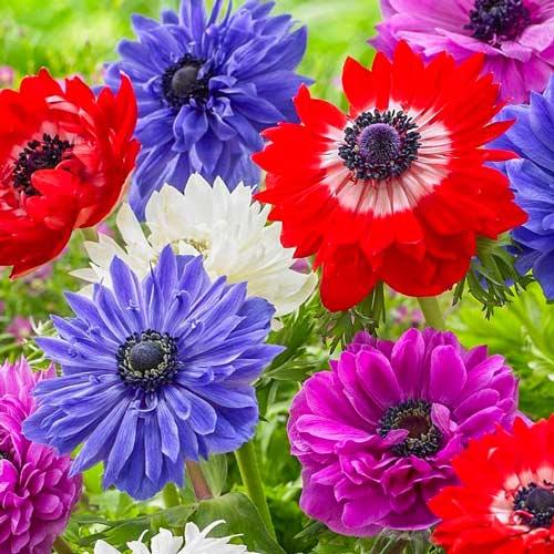 Anemone double St. Brigid mix multicolor imagine 1 articol 67002