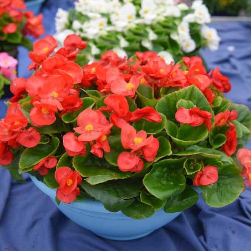 Begonie Gloria F1 roșie Legutko imagine 1 articol 86798
