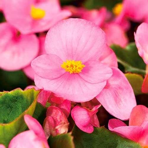 Begonie Gloria F1 roz Legutko imagine 1 articol 86797