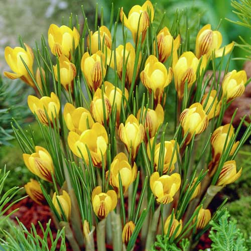 Brândușe Golden Yellow imagine 1 articol 67616