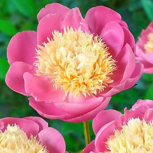 Bujor Bowl of Beauty imagine 1 articol 76552