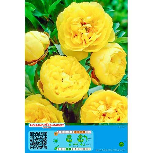Bujor Yellow imagine 1 articol 76488