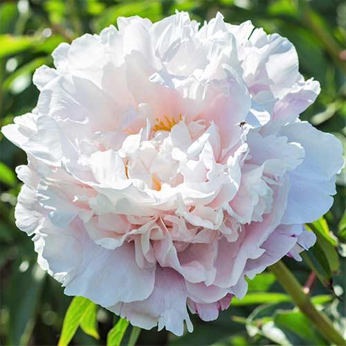 Bujor Gardenia imagine 1 articol 76553