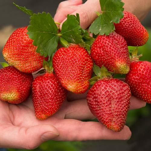 Căpșuni Asia imagine 1 articol 9861