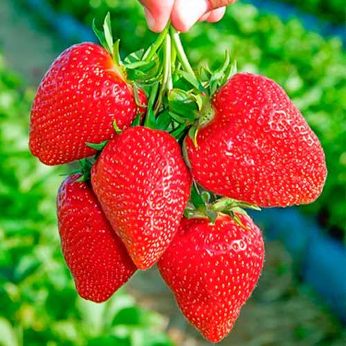 Căpșuni Darselect imagine 1 articol 9853