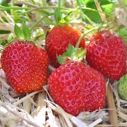 Căpșuni Donna imagine 1 articol 9859