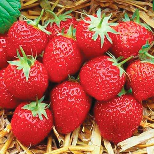 Căpșuni Elsanta imagine 1 articol 9864