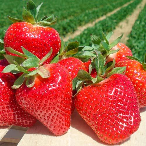 Căpșuni Joly imagine 1 articol 9862