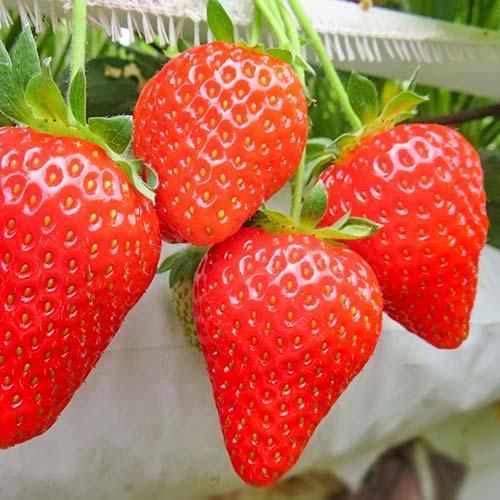 Căpșuni Olimpia imagine 1 articol 9865