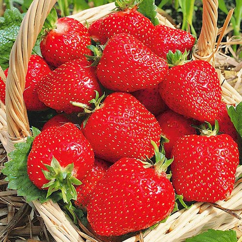 Căpșuni Roxana imagine 1 articol 9867