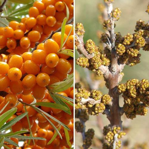Cătină Orange Force: mascul (1) + femelă (1) imagine 1 articol 9253