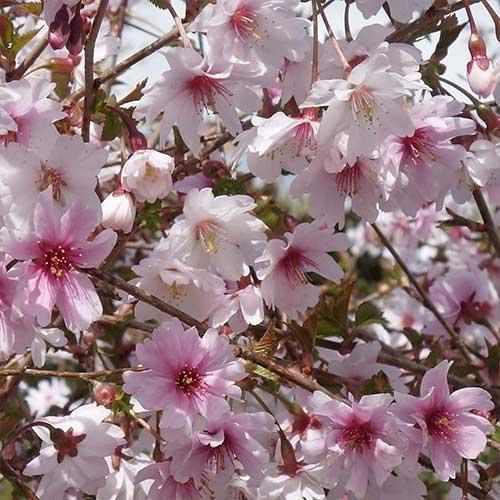 Cireș japonez (Prunus) Mikinori imagine 1 articol 4105