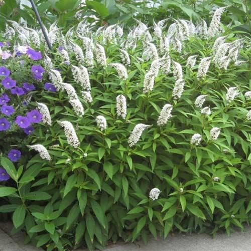 Clethra alnifolia imagine 1 articol 4424