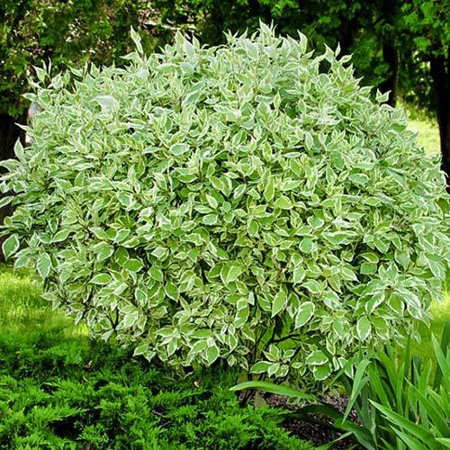 Cornus alba Elegantissima imagine 2 articol 9569
