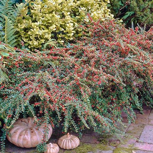 Cotoneaster Coral Beauty imagine 2 articol 9578