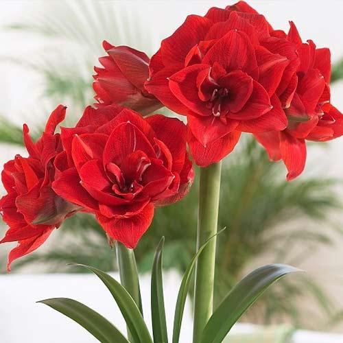 Crin de cameră (Amaryllis) Double Red Nymph imagine 1 articol 70268