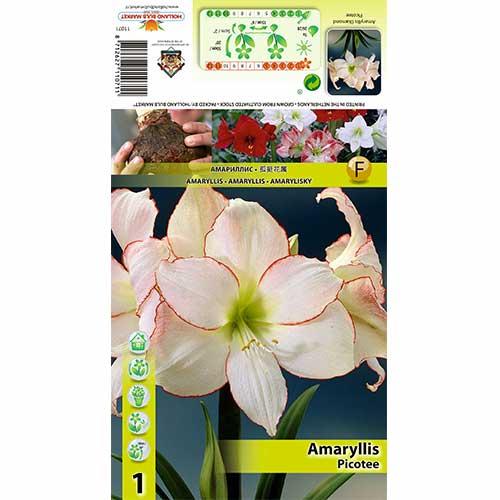 Crin de cameră (Amaryllis) Picotee imagine 1 articol 76013
